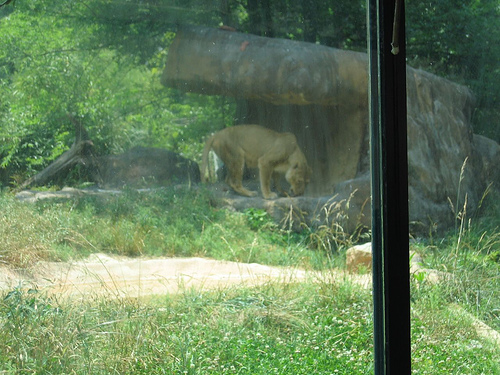 Lion Eating 2