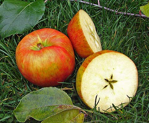 An Apple A Day Survival Tale