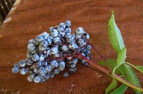 Elderberrybranch