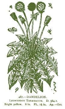 Dandelion – Pocket Herbal