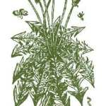 Dandelion Drawing