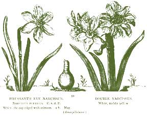 Narcissus – Pocket Herbal