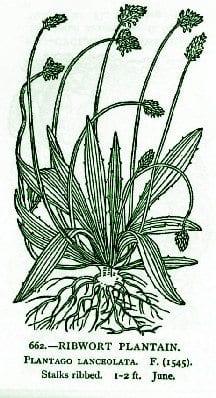 Plantain – Pocket Herbal