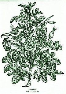 Rose – Pocket Herbal