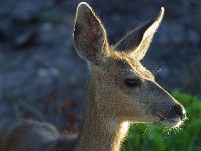 White-tail-deer1