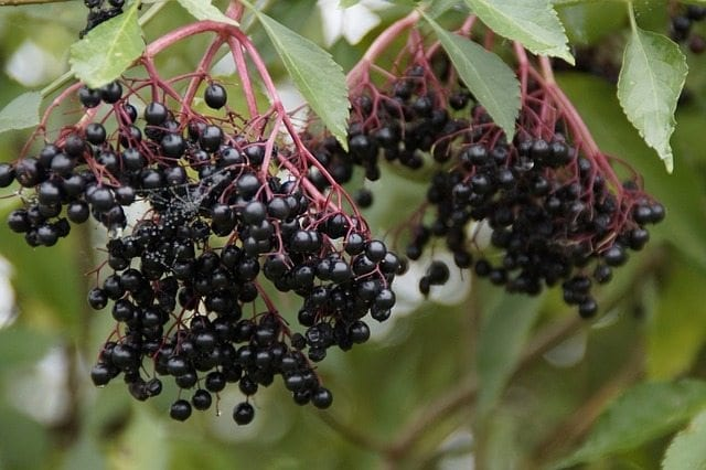 Show 3: Protecting Boundaries With Elderberry And Flower