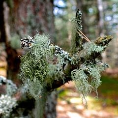 Add Usnea To Your Herbal Medicine Chest To Fight Infection