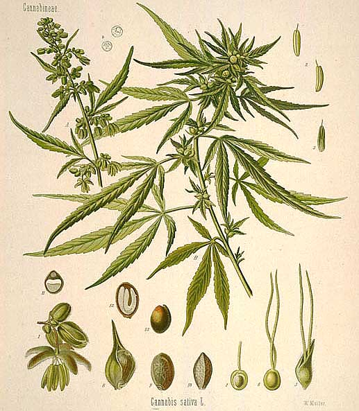 Cannabis: Herb Of Mystics