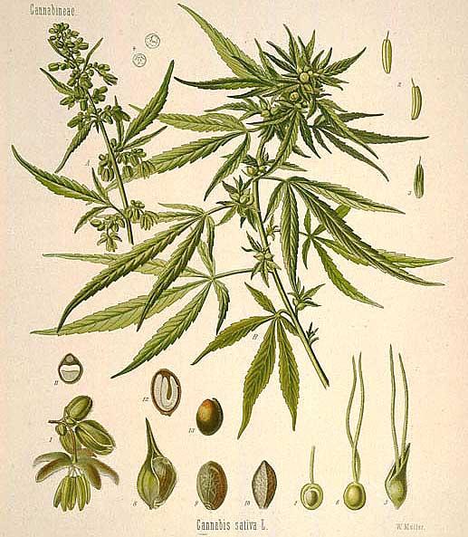 Cannabis: Herb Of Mystics