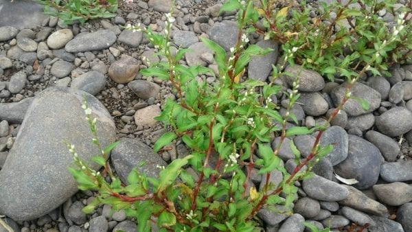 Knotweed (Polygonum Aviculare)