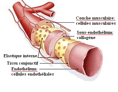 Endothélium