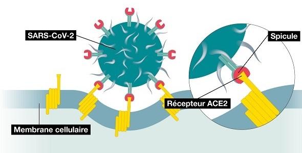 Comment le coronavirus infecte nos cellules