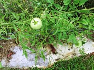 Use an old T-Shirt to mulch your tomato plants
