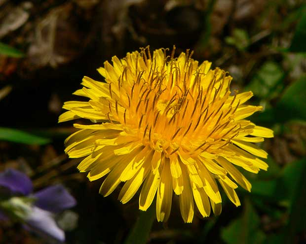 Dandelion leaves can be added to a salad or cooked. They can also be dried and stored for the winter or blanched and frozen.