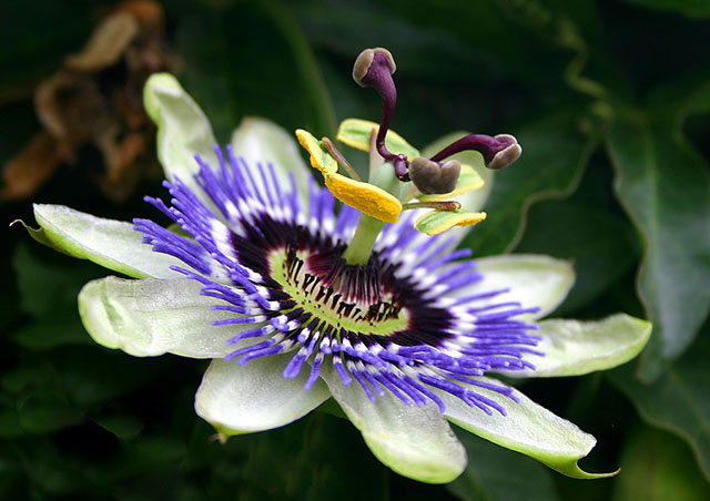 New research suggests that passionflower may treat insomnia and anxiety as well as prescription drugs, but without the side effects.