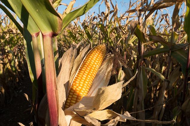 cornfield-972283_640