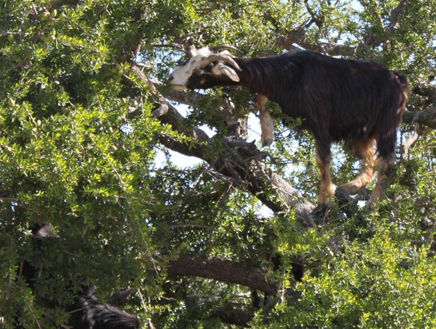 Goat climbing and eating black locust