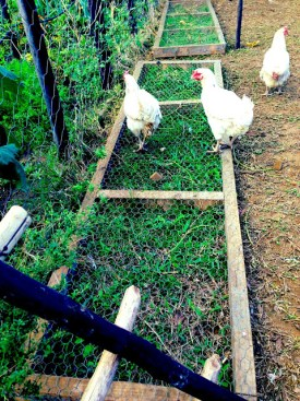 Chicken grazing frame