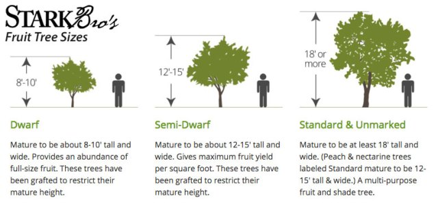 Dwarf and semi-dwarf trees produce the same type and size fruit as standards, just less per tree.