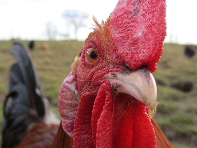 chicken-647226_640