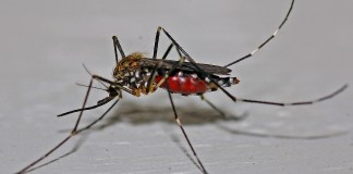 Image of Mosquito