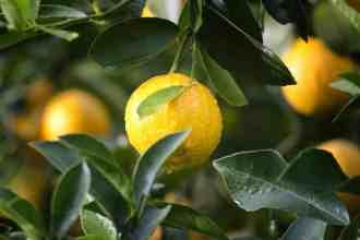Photo of lemons on a tree