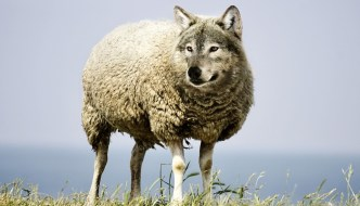 asheep has been photoshopped to have a wolf's head