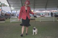 Sydney_Rotal_Dog_Show_The_Pug_Diary_03042015_0045