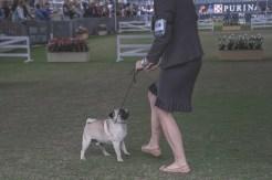 Sydney_Rotal_Dog_Show_The_Pug_Diary_03042015_0046