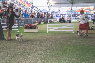 Sydney_Rotal_Dog_Show_The_Pug_Diary_03042015_0047