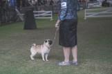 Sydney_Rotal_Dog_Show_The_Pug_Diary_03042015_0053