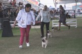 Sydney_Rotal_Dog_Show_The_Pug_Diary_03042015_0054