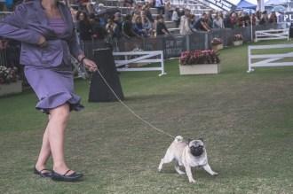 Sydney_Rotal_Dog_Show_The_Pug_Diary_03042015_0055