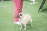 Sydney_Rotal_Dog_Show_The_Pug_Diary_03042015_0071