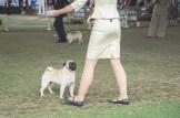 Sydney_Rotal_Dog_Show_The_Pug_Diary_03042015_0085
