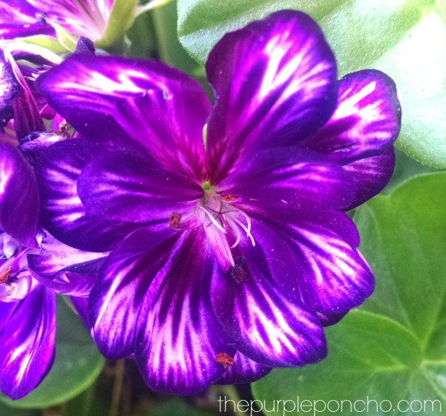 Purple Geraniums by The Purple Poncho