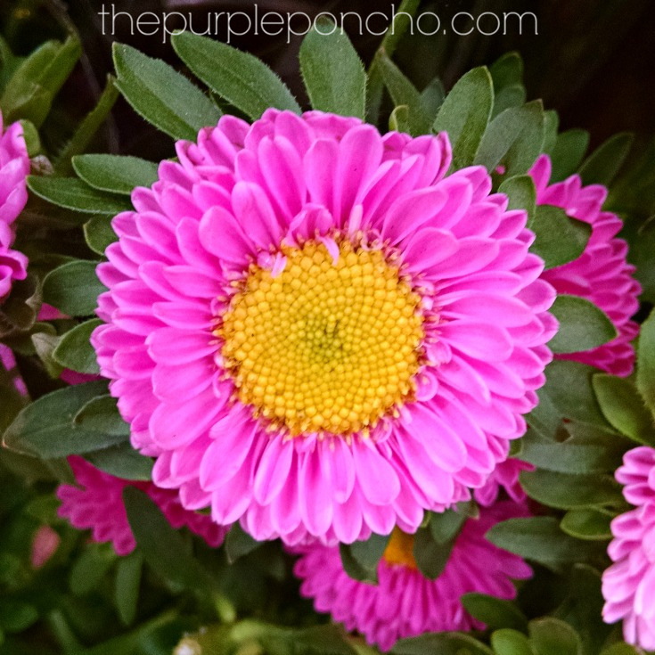 October flowers of the month the purple poncho this pretty burgundy flower is the sure sign of fall when you see chrysanthemums in all the stores you know its here the yellow center is so fabulous in mightylinksfo