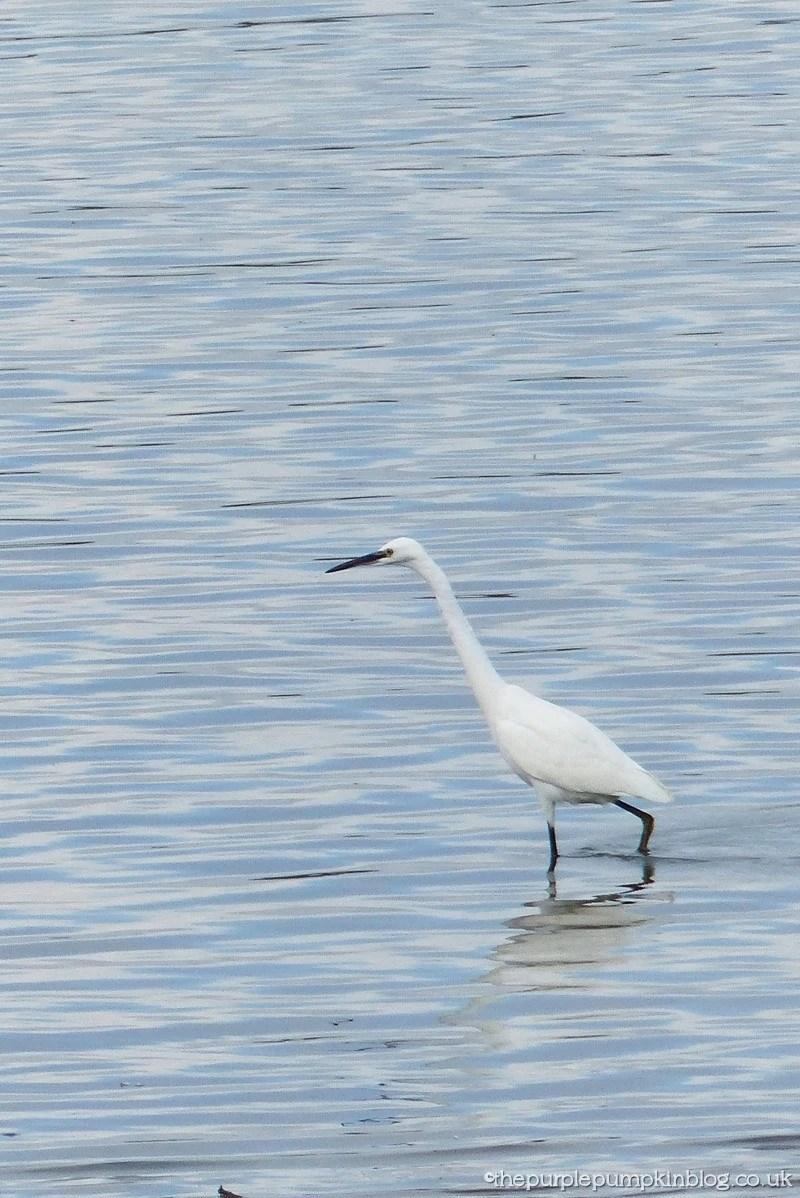 Hanningfield Reservoir Essex - Egret
