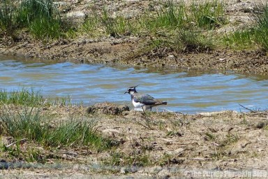 Rainham Marshes RSPB Nature Reserve - Lapwing