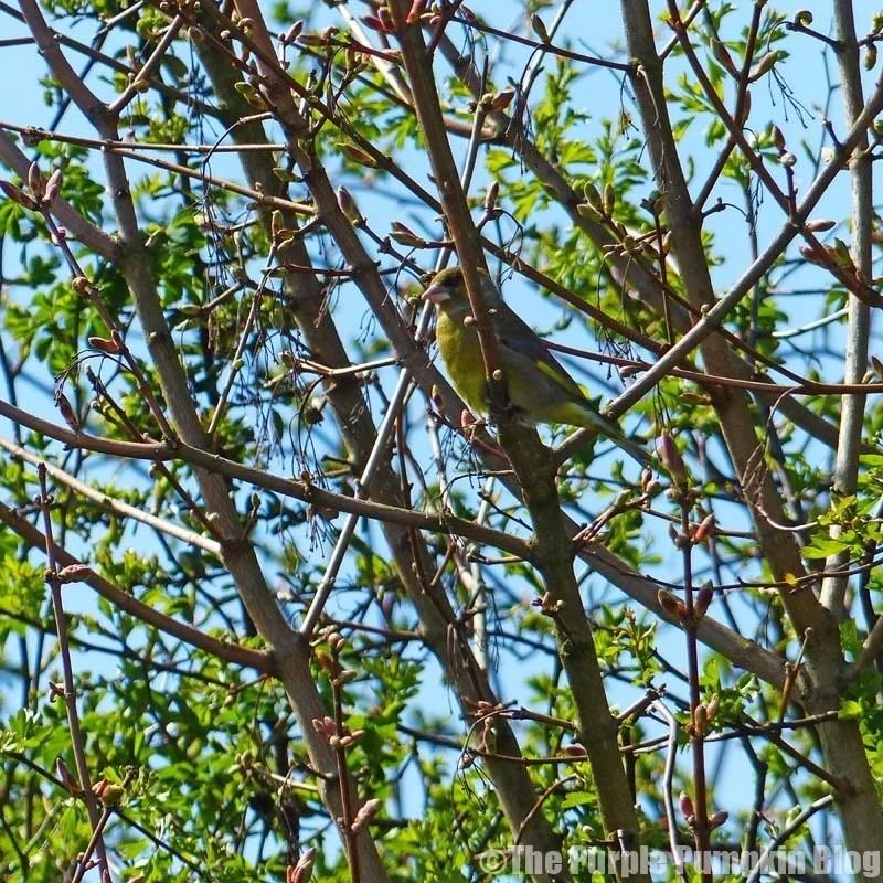 Rainham Marshes RSPB Nature Reserve - Greenfinch