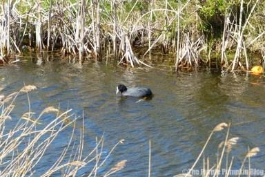 Rainham Marshes RSPB Nature Reserve - Coot