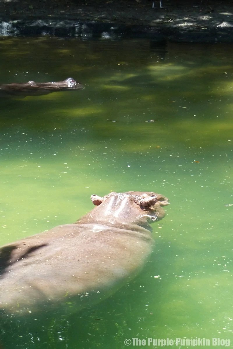 Hippopotamus - Kilimanjaro Safaris at Animal Kingdom