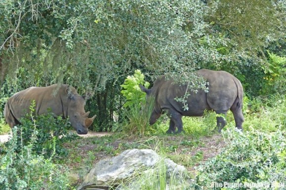 Rhinoceros - Kilimanjaro Safaris at Animal Kingdom