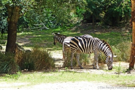 Grants Zebra - Kilimanjaro Safaris at Animal Kingdom