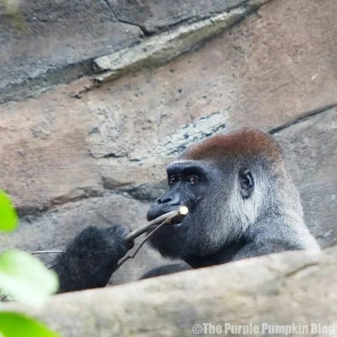 Gorilla at Disney Animal Kingdom