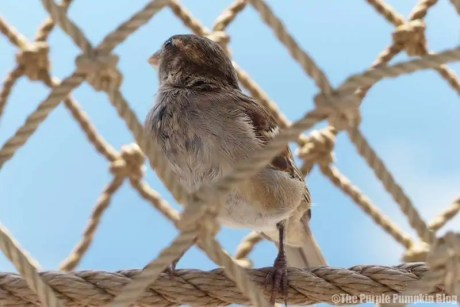 Sparrow at Disney Old Key West