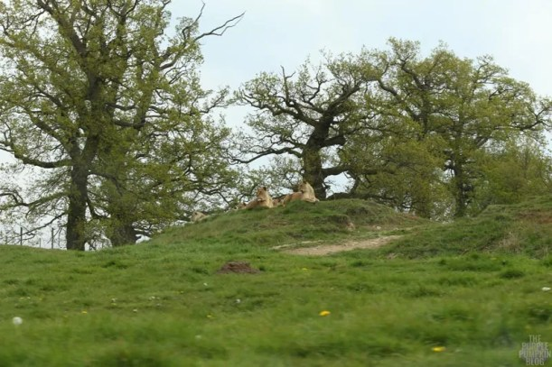 African Lion - Woburn Safari Park