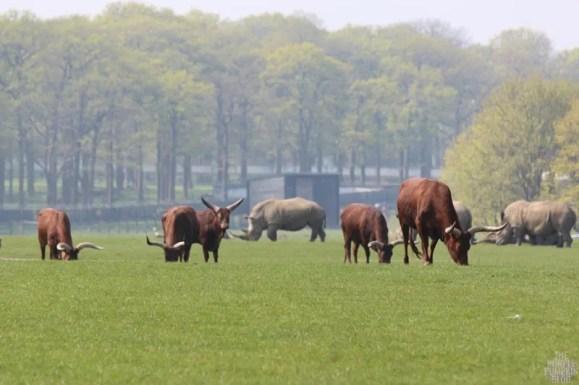 Ankole Cattle - Woburn Safari Park