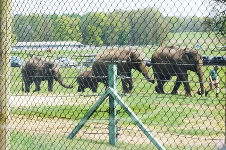 Asian Elephant - Woburn Safari Park