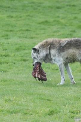 Canadian Timber Wolf - Woburn Safari Park